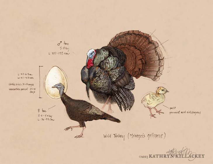 wild_turkey_sketch_Killackey.jpg