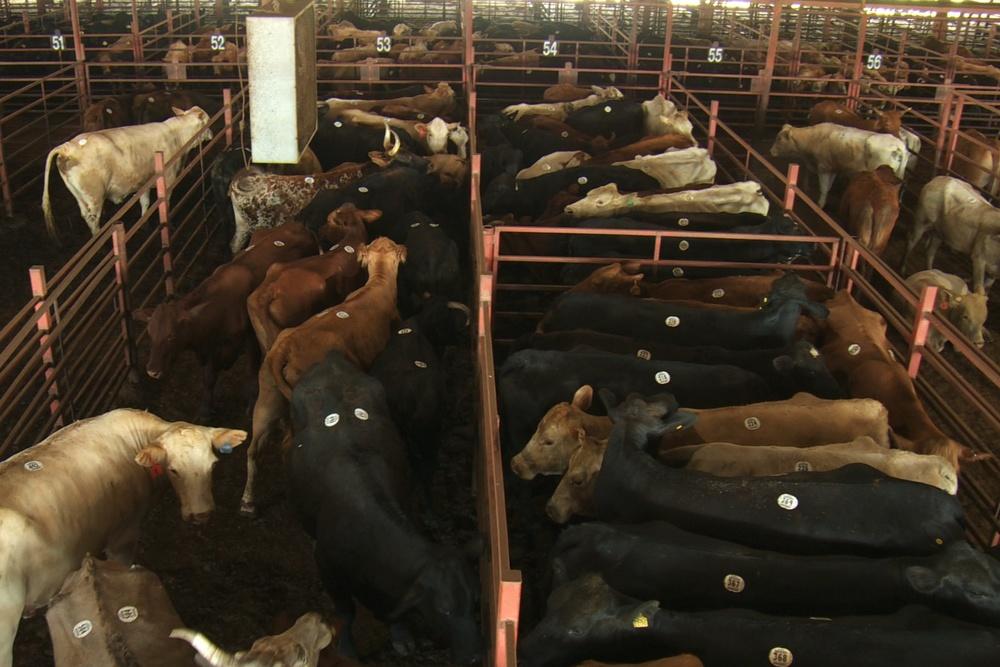 cows at slaughterhouse.jpeg
