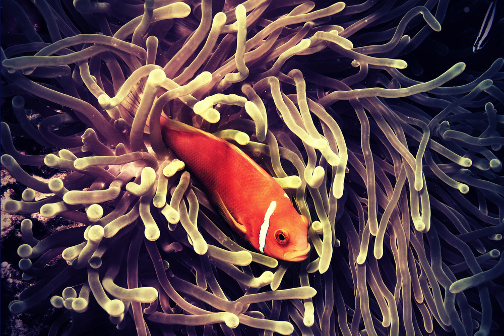 amphiprion nigripes .jpg
