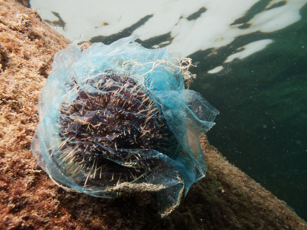 A sea urchin covered in a plastic bag. This type is not dangerous as the spikes are a lot short, blunt and much less prone to breaking off.