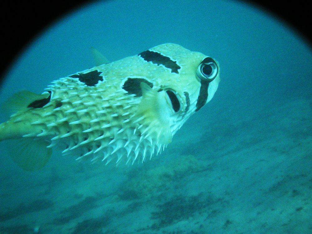A spiky pufferfish swims by.