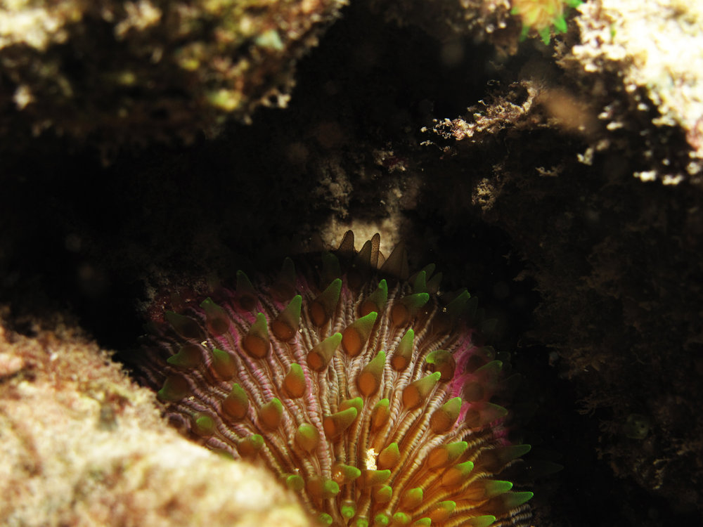 Mushroom coral with extended polyps.