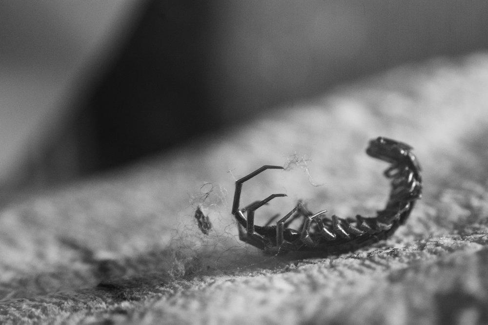 Dead Centipede. Nikon D7100. (2014)