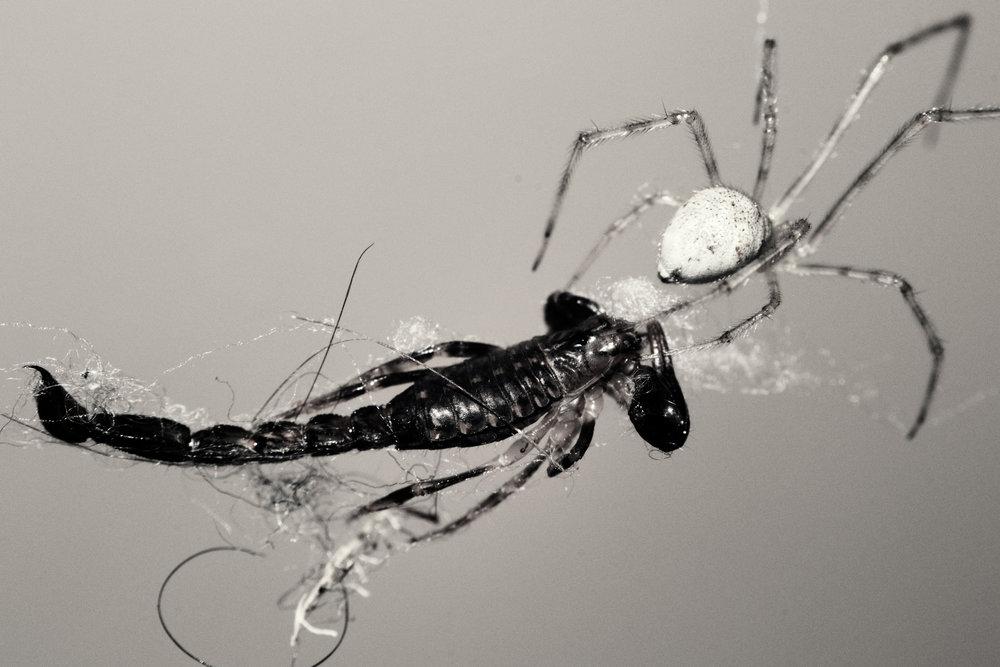 2011-03-05 - Tasmania - Nikon D3100 - spider vs centipede - archndDSC_0022.jpg