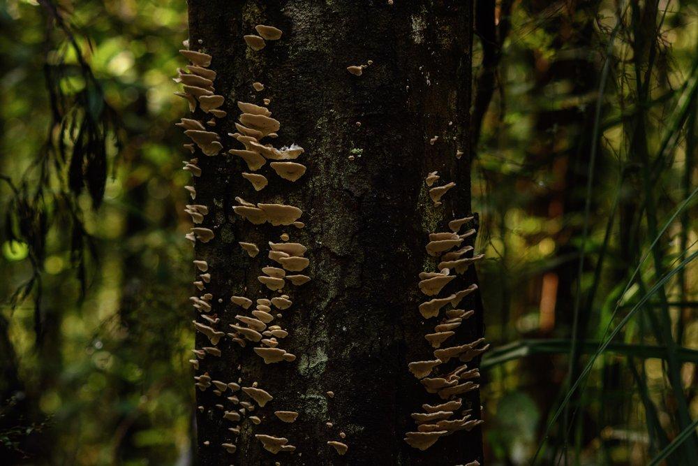 A type of polypore fungi.  Kaoota tramway track.  Nikon D7100.  Tasmania (2017)