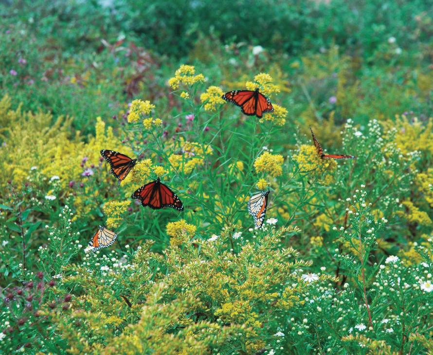 Ajax-Monarca-Butterfly-Ajax-890x730px.jpg