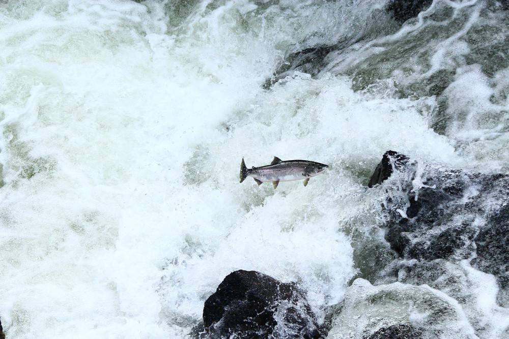 #7 - Salmon Run, Not Swim