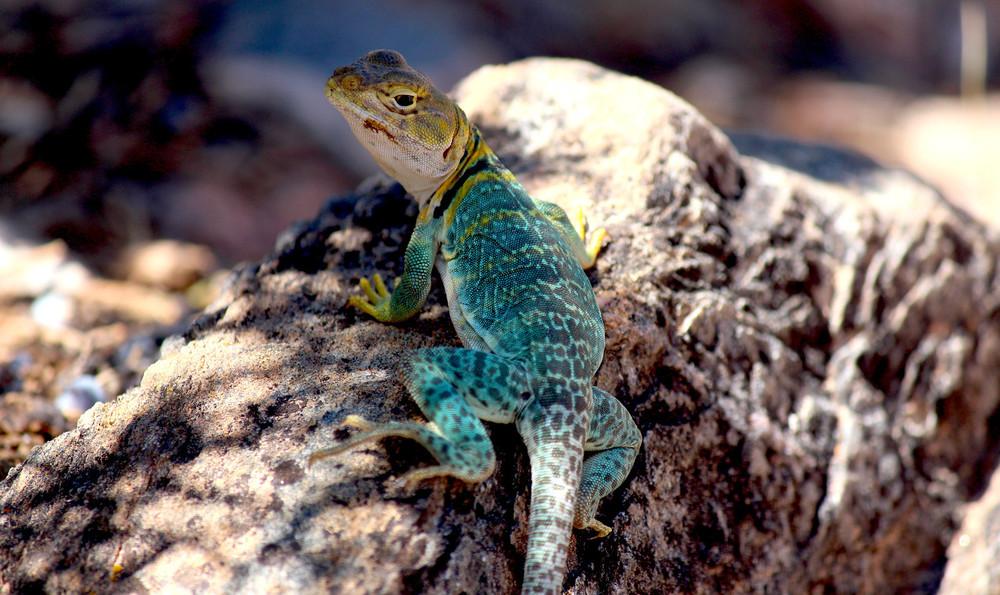 #9 - The Priest Lizard