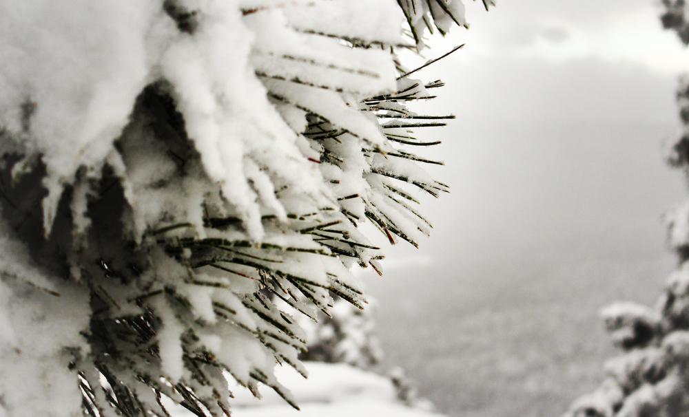 #33 -- Snowy Pine