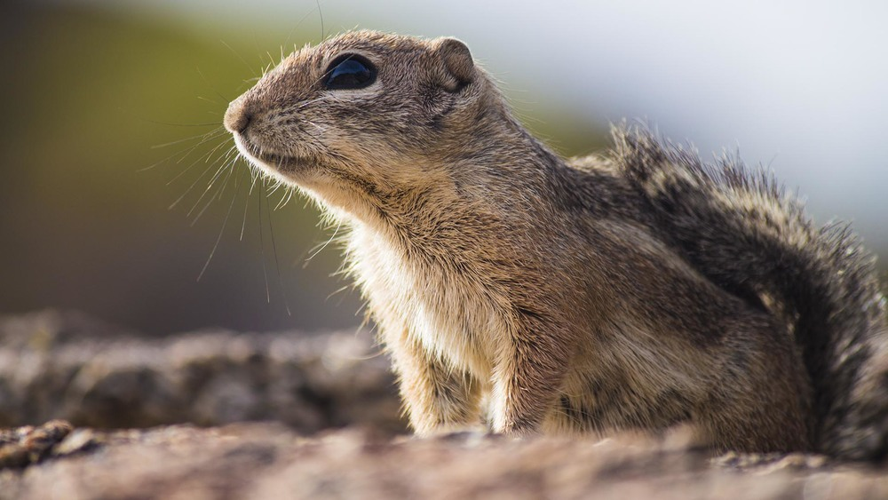 #78 -- Looks Like A Chipmunk To Me