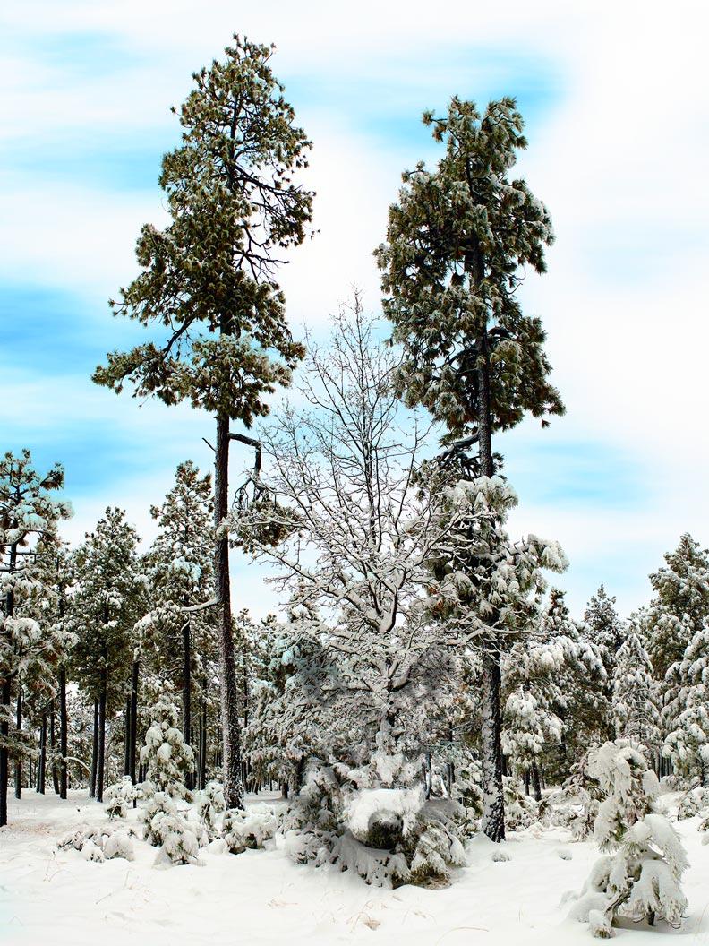 #81 -- Snow Trees.