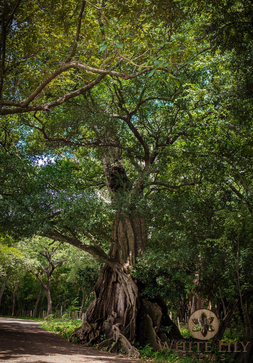 #96 - Timber de Guanacaste