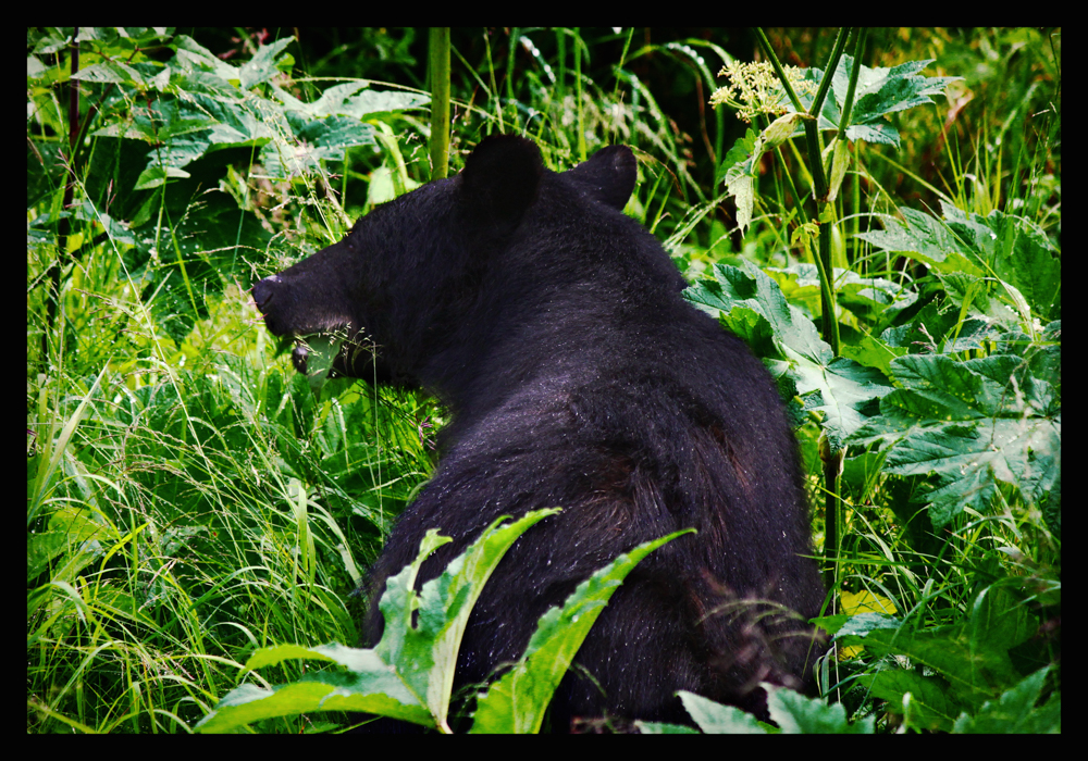 Juneau Black Bear