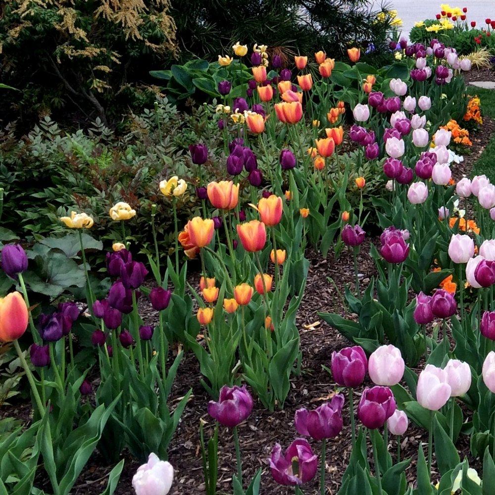 Tulips1.JPG