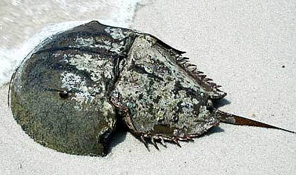 horseshoe-crab.jpg