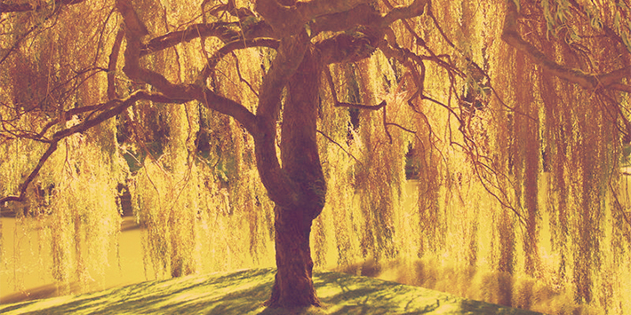 willow-tree-1.jpg
