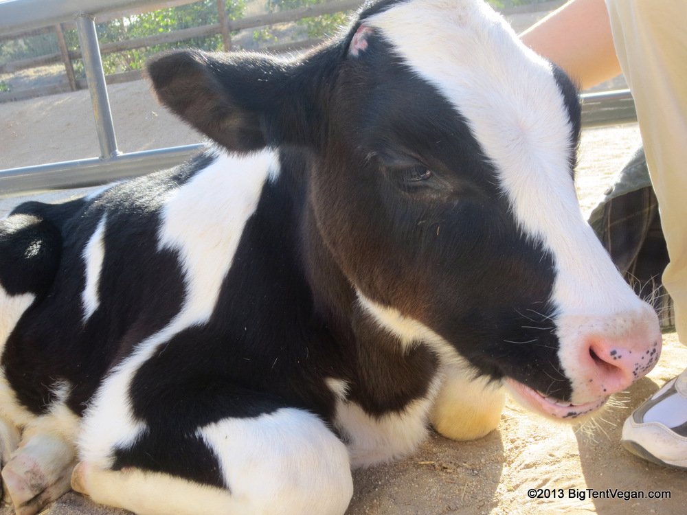 Safran, a rescued dairy/veal calf living at Farm Sanctuary's Animal Acres in Acton, CA