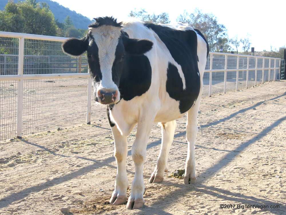 Safran from  Farm Sanctuary  (Acton, CA, USA) is grateful whenever anyone chooses to eat a vegan burger instead of one made from a cow. <3 #lovecowsdonteatthem