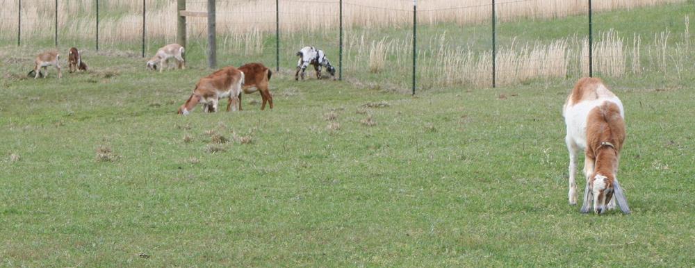 Brood Farm herd