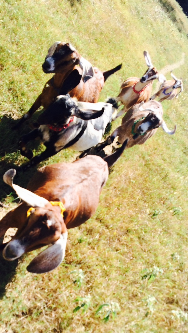 The goats as they kept me company on a recent trail run.