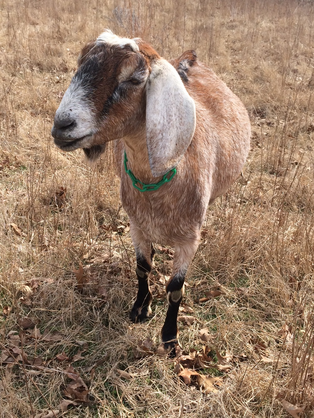 Nutmeg tolerates the rest of the goats, but I am her herd. If I'm working in the house, she spends most of her day grazing in the corner of the field closest to me. When I head down to the barn, she heads that way, too.