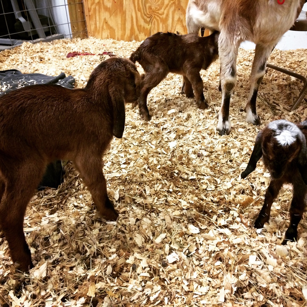 The triplets born this morning. They weighed in at 9.2, 8.0, and 4.2 pounds.