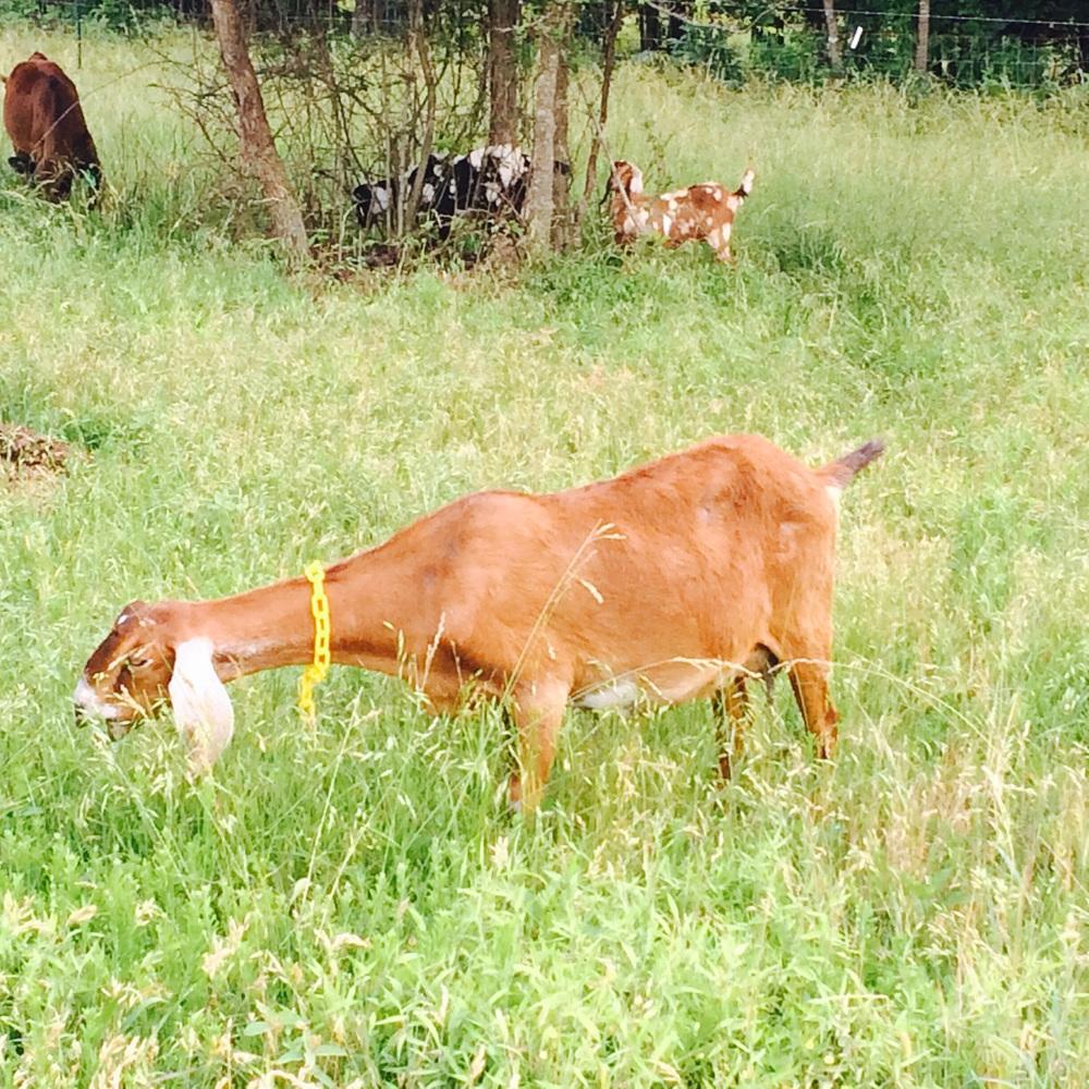 Honey, in her happy place, grazing with her herd