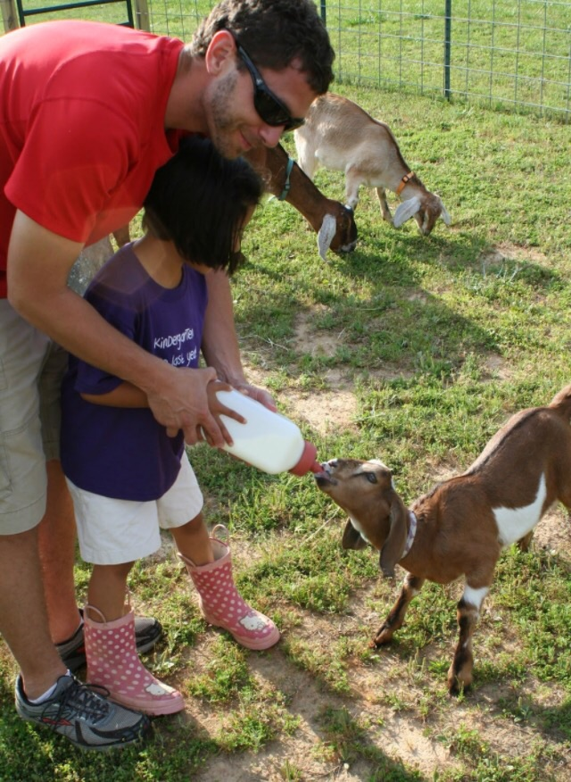 Girl 2 bottle feeds Copper, our old herd sire, on the day he arrived at the farm. Baby Izzy can be seen in the background.
