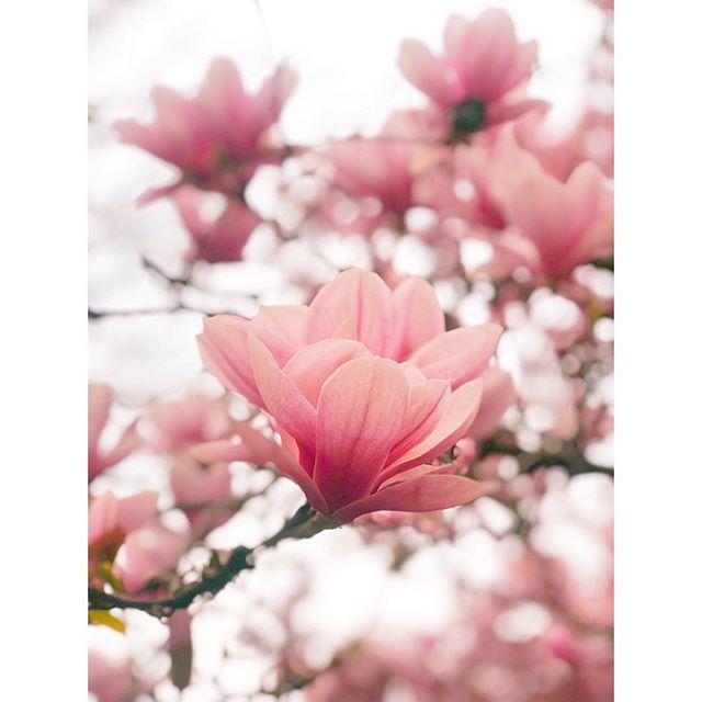 🌸 . . . . . #nycspring #fortgreene #fortgreenepark #magnoliatree #magnoliatrees #magnoliatreesinbloom #springflowers