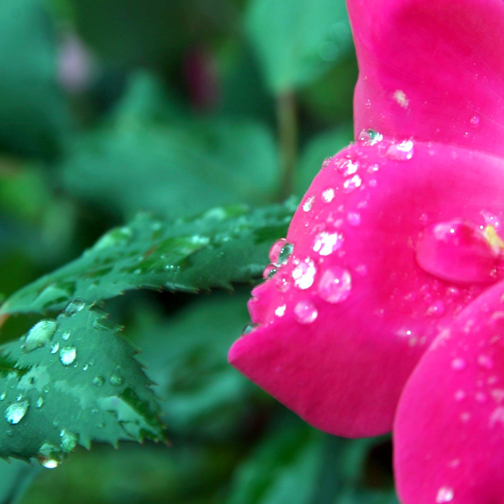 wet-rose