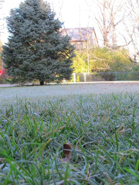 frosted grass2