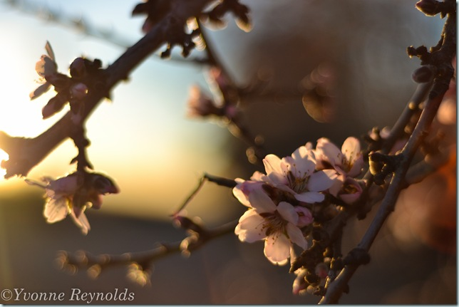 13_Feb_almond blossoms_001_edit