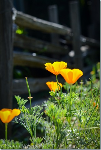 fence with poppies
