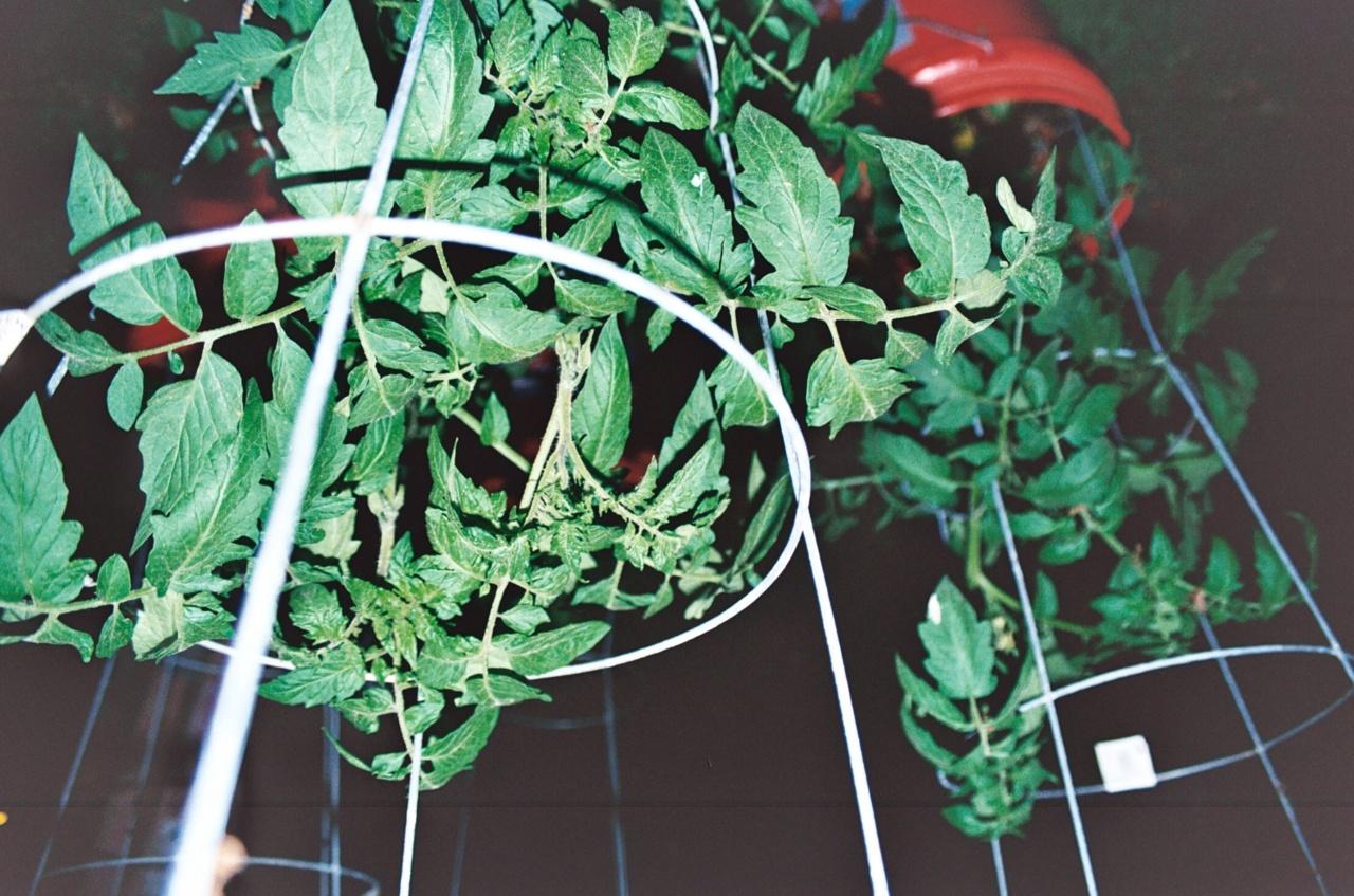 Refracted Tomato plants