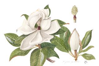 Magnolia 2jpg.jpg