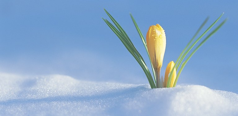 easter-lily-snow-feature-min.jpg