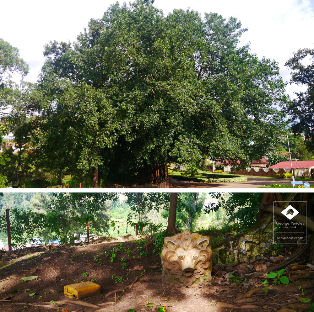 The gigantic Ficus and Karambo Lion's head