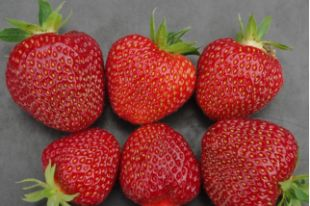 © (Photo: Agriculture & Agri-Food Canada)    The new Laurel strawberry variety.