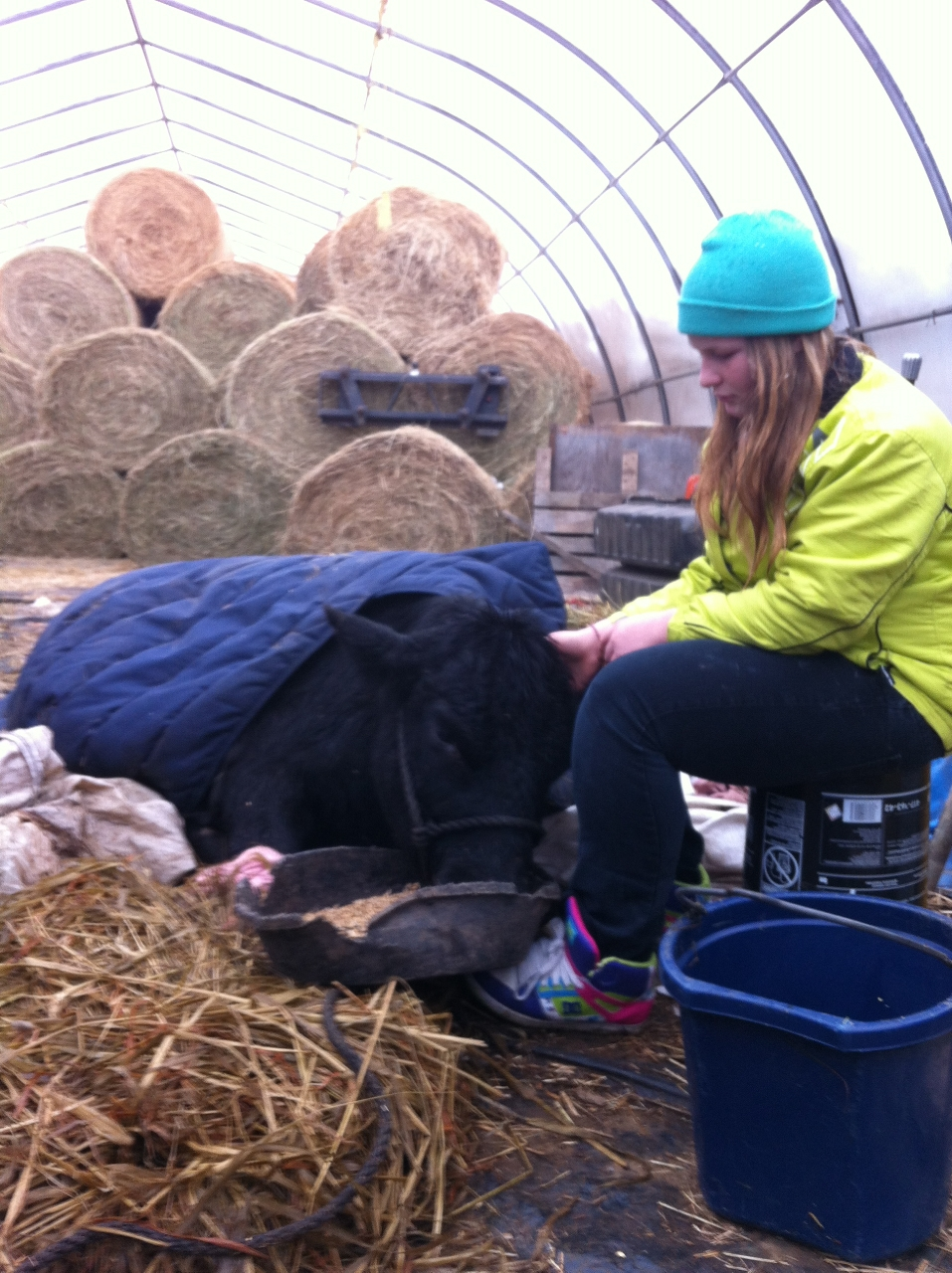 MacKenzie Rhodenizer comforts her 4-H Maine Anjou heifer badly injured Saturday night when the barn sheltering heifers and cows at E-I-E-I-O Farm in Blockhouse, N.S., collapsed under the weight of snow.