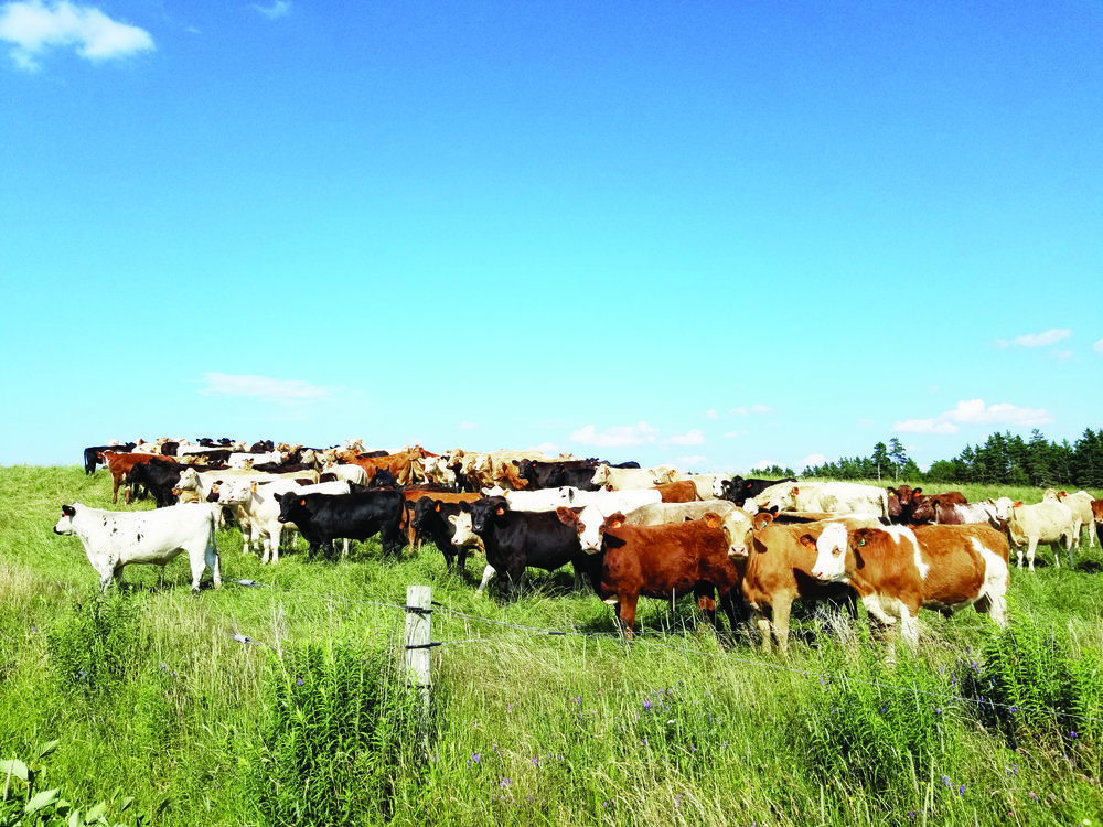 Nova Scotia cattle. (NSCP photo)