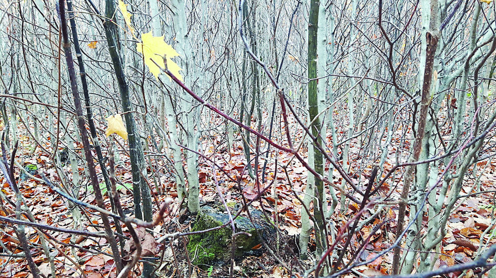 Prolific beech stump sprouts resulting from a partial harvest. In the dormant season (fall and winter), resources are stored in the root system, awaiting the next growing season. (Northern Hardwoods Research Institute photo)