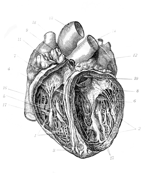 Dissect draw adult workshop cow heart and lungs action photo by handmadepicturesistock getty images ccuart Image collections