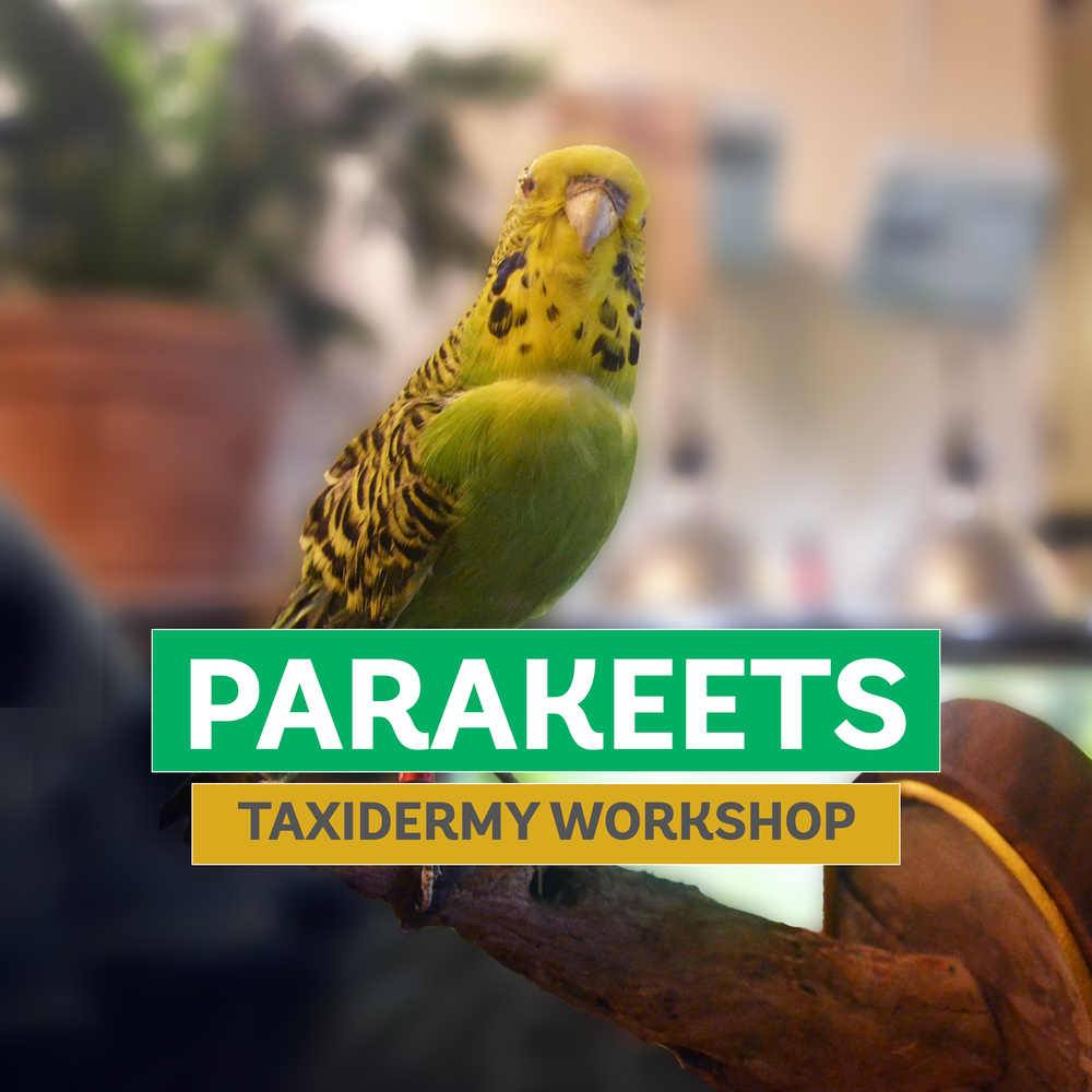 taxidermy101-parakeet.png