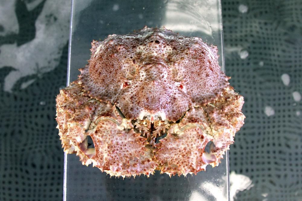 Brown Box Crab, Long Beach