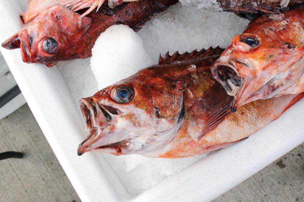 Rockfish, San Diego