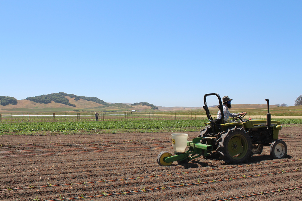 Jay seeding our second sowing of green beans with Jorge hoeing in the background.