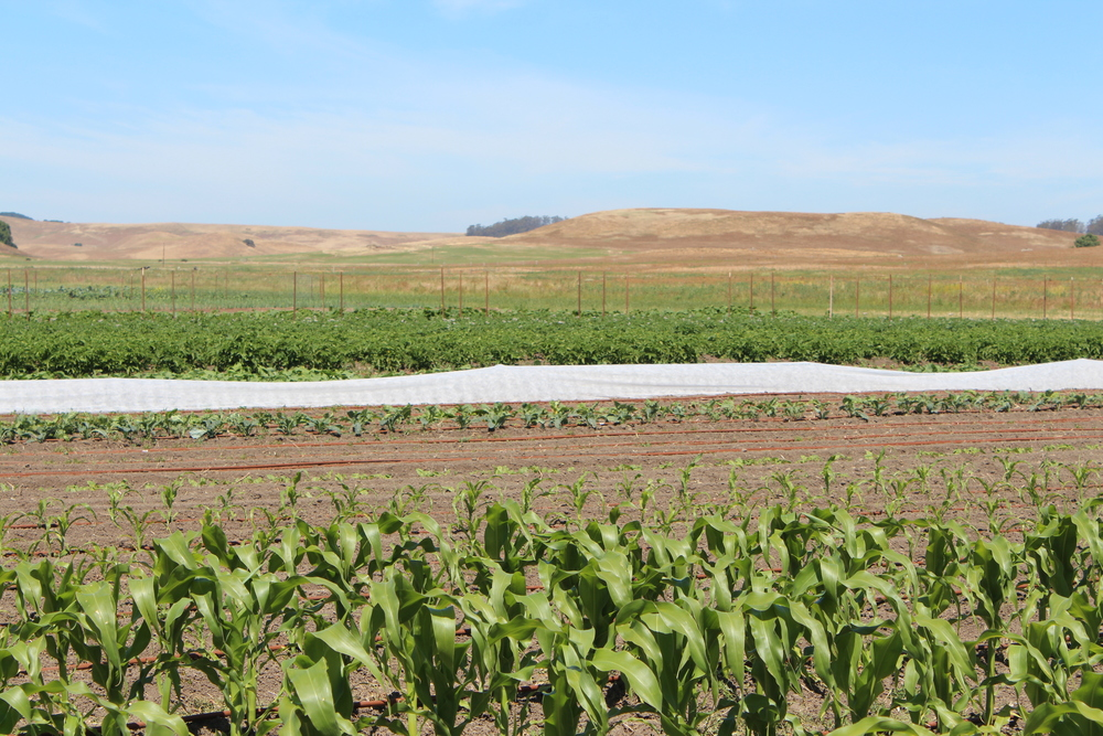 The first and second plantings of corn in the front with potatoes and a few other crops in the background.