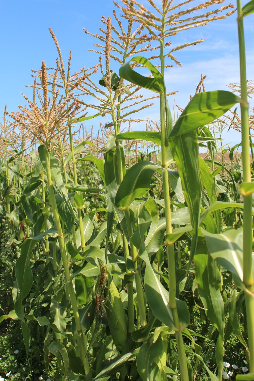 Sweet corn in the field.
