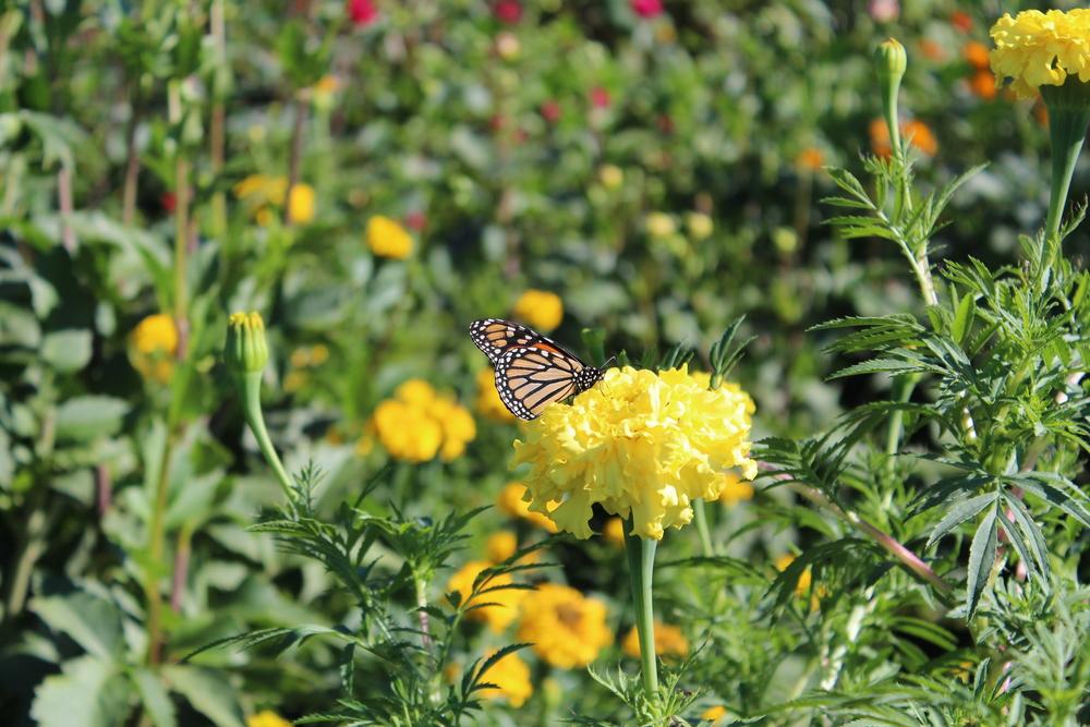 Monarch on a marigold