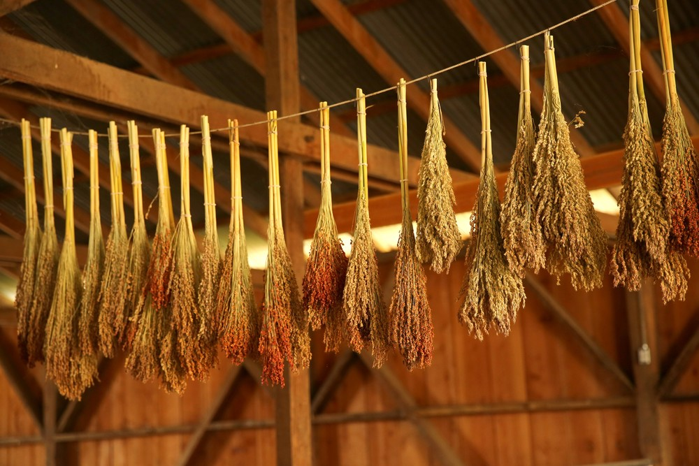 Broom corn drying in the large hay barn